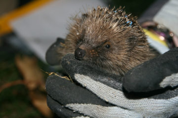 Hedgehog in the palm of a hand. Photo: Clare Bowen